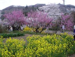 春の花見山~福島の桃源郷~