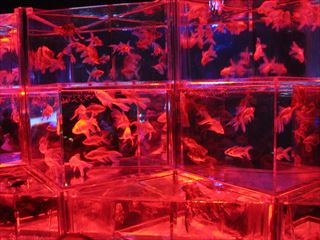 ECO EDO 日本橋アートアクアリウム2018(江戸・金魚の涼)【東京考察#350】